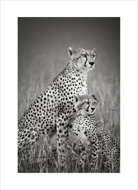 Cheetah with cub poster