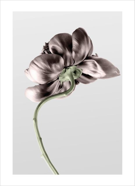 Dusty peony poster