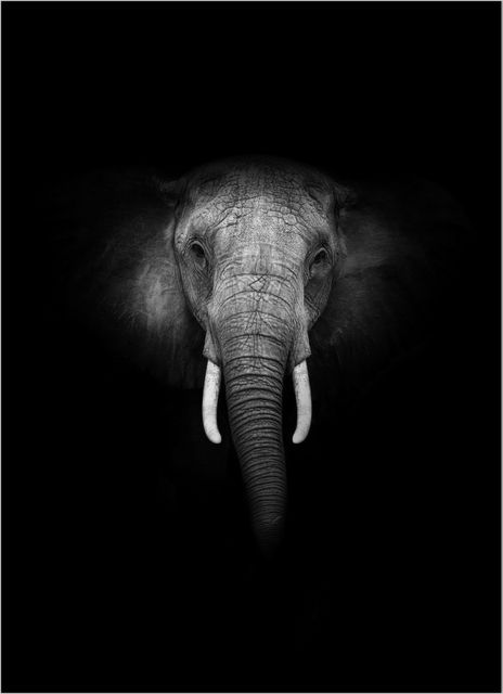 Elephant in black poster