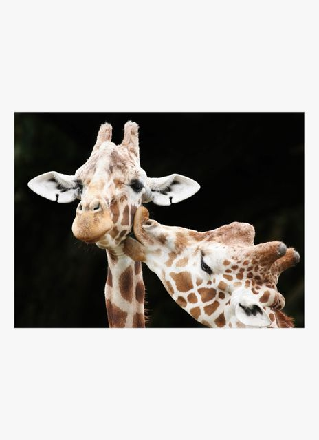 Kissing giraffes poster