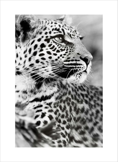 Leopard close up poster