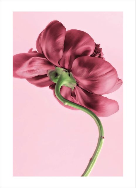 Lovely peony poster