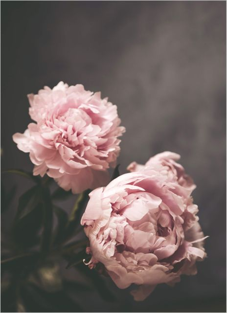 Peony grey wall poster