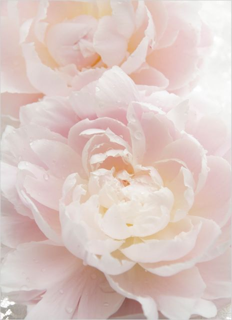Peony with waterdrops poster