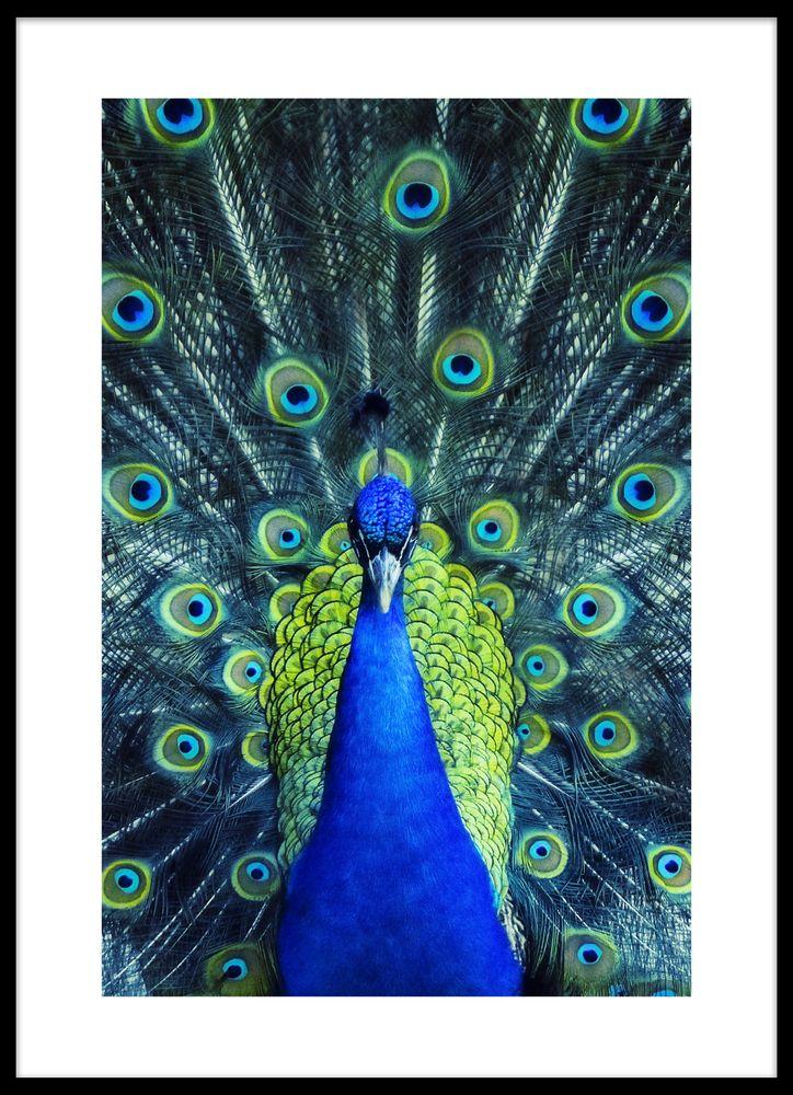 Dancing peacock poster