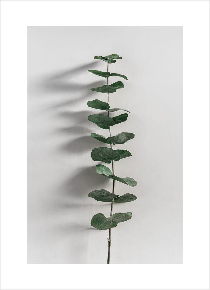 Eukalyptus nr 2 poster