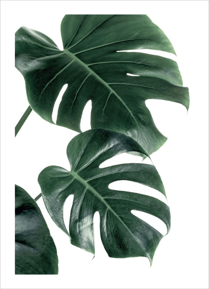 Monstera palm poster