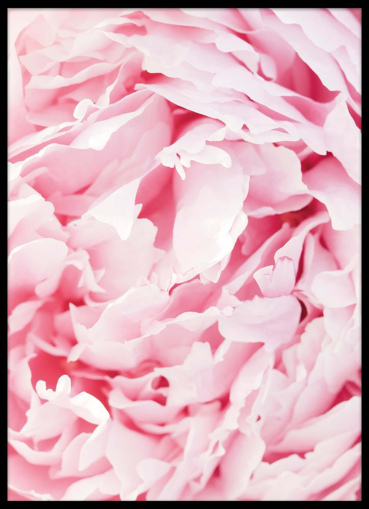 Rosa pioner poster