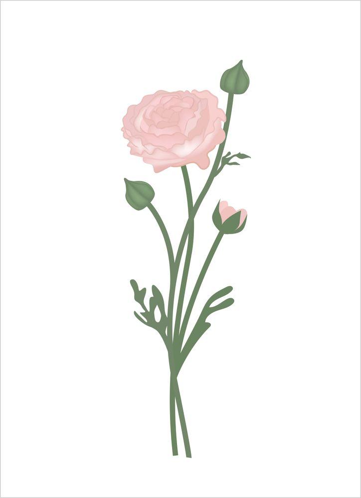 Ranunkel rosa poster