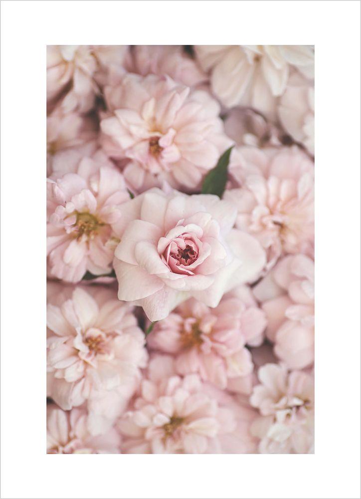 Små rosa rosor poster