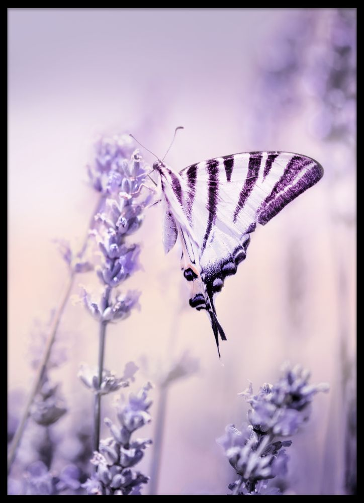 Fjäril på lavender poster