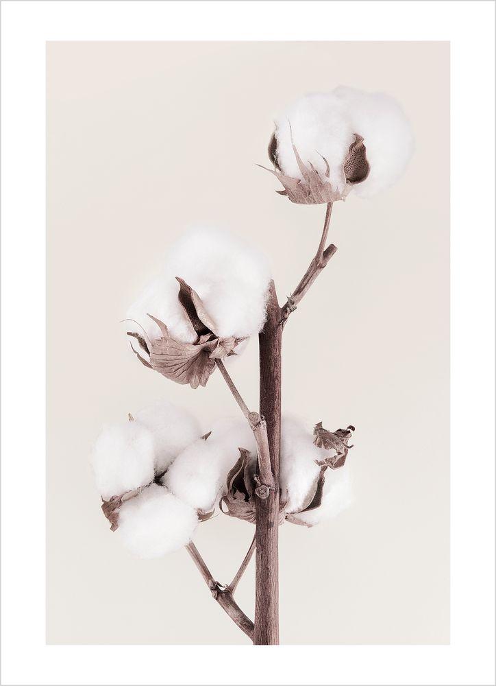 Bomullsväxt No1 Poster