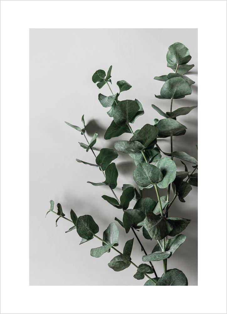 Eukalyptus nr 1 poster