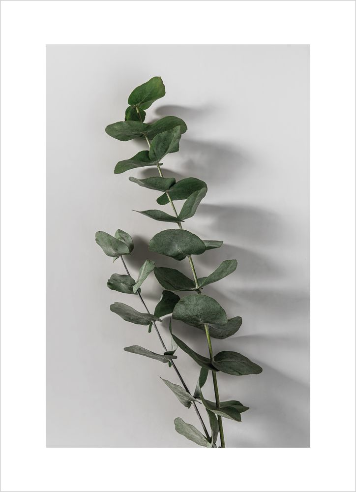 Eukalyptus nr 3 poster