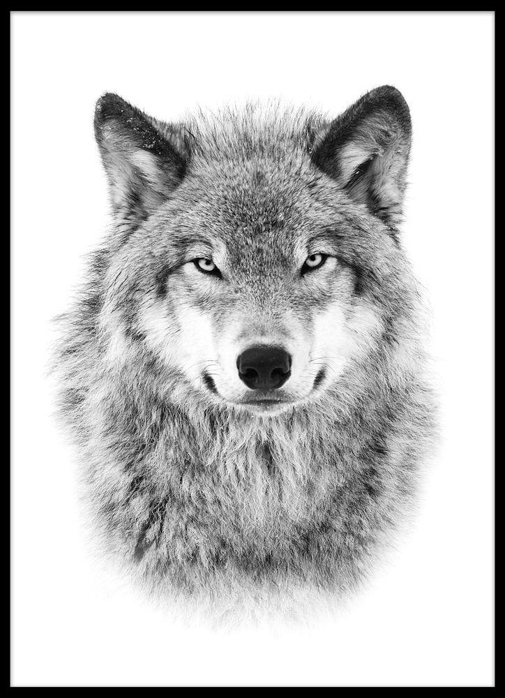 Grå varg poster