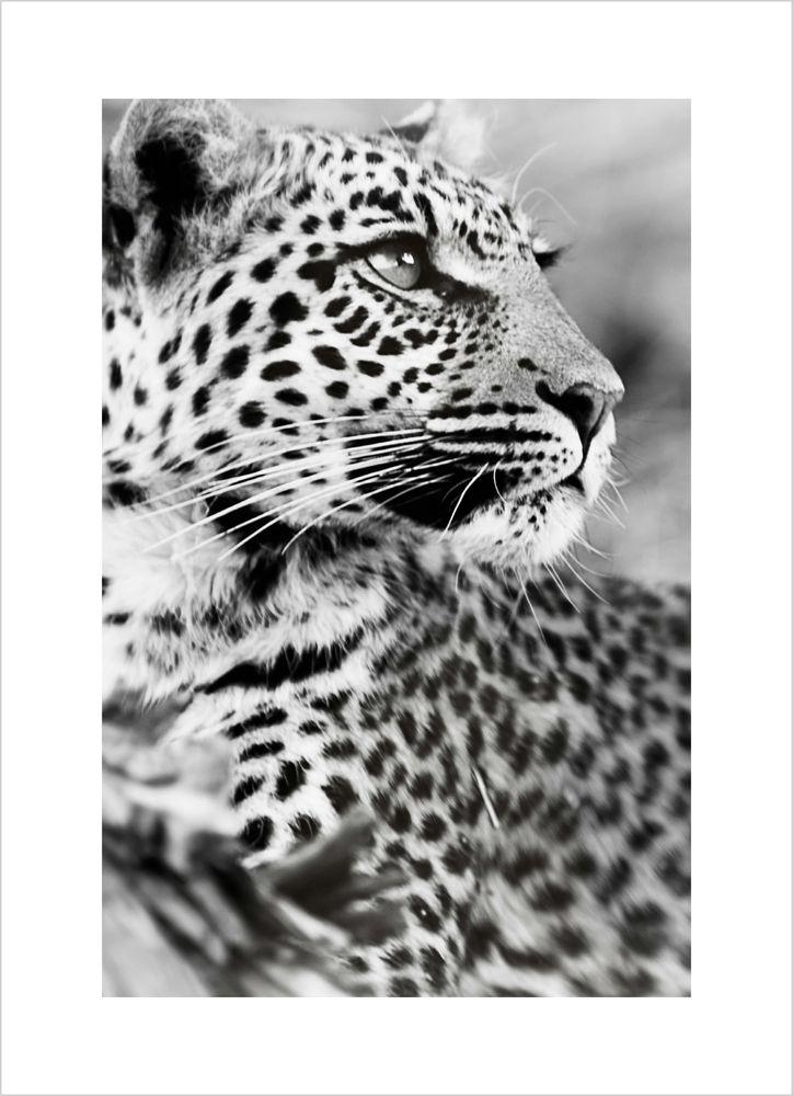 Leopard närbild poster